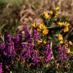 Fleurs de bretagne1