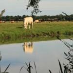 Reflet vache
